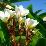 Scented white and yellow Franjipani
